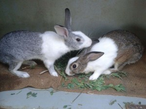 rabbit-couple-doing-love-pic