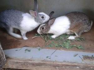 caring-loving-each-other-rabbit-couple-image