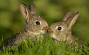 Romantic-kissing-rabbit-images